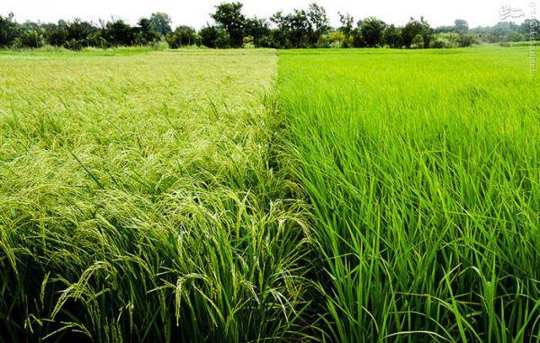 b_600_600_16777215_00_images_rice-farm.jpg
